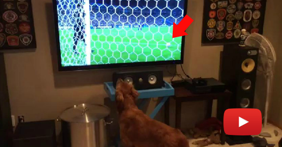 I've Never Seen A Dog Watching World Cup Like This …